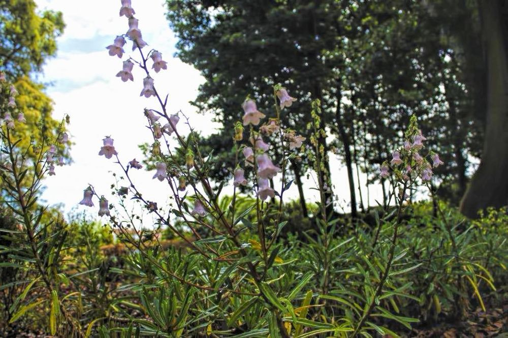 04-Azorina vidalii-12.08.15.jpg