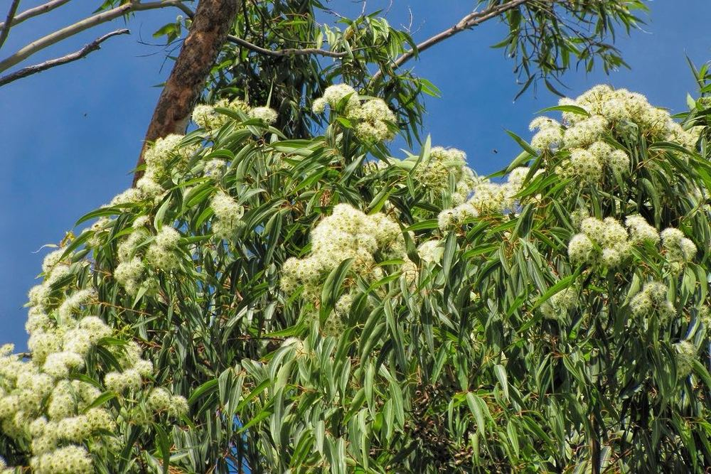 Eucalyptus robusta-rq-20150925-1u.jpg