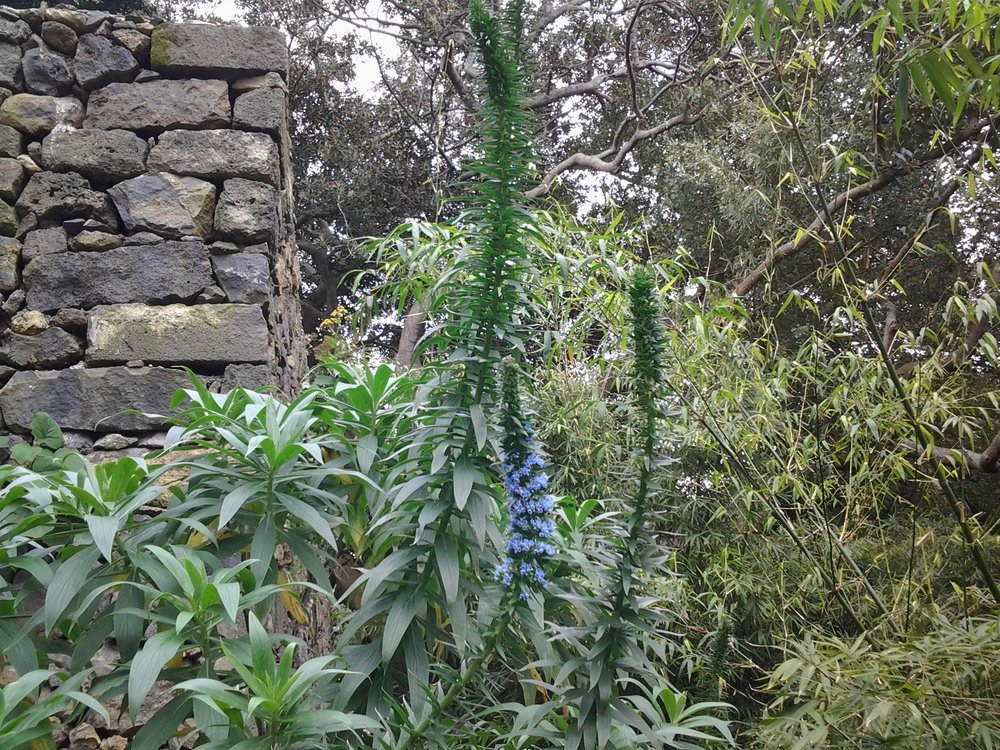 Echium candicans x pininana-06.03.17-(TP)-1d.jpg