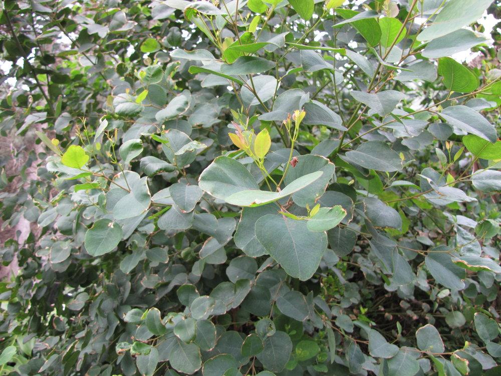 Eucalyptus globulus-2.JPG