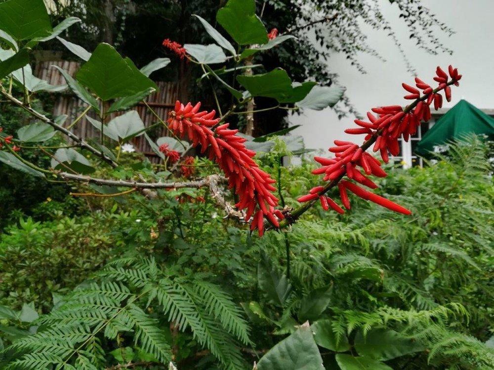 Erythrina rubrinervia-06.12.17-1a (foto-Tibérrio Pacheco).jpg