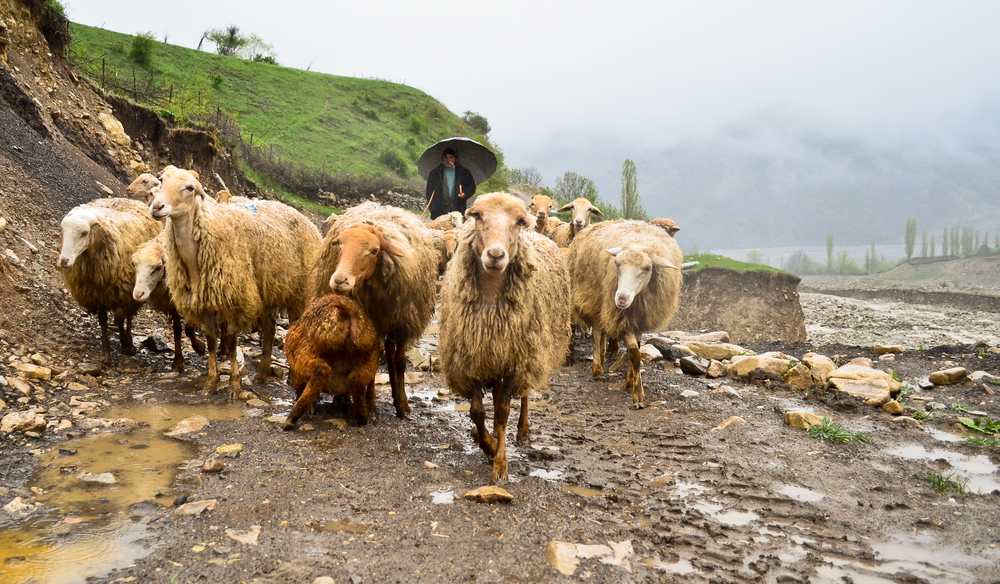 Sheep heading out to their grazing areas in the village of Lahij, Azerbaijan.