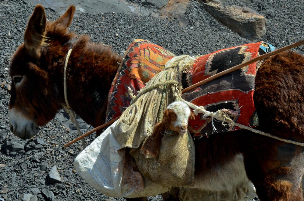 A lamb in a bag! (near Xinaliq, Azerbaijan)