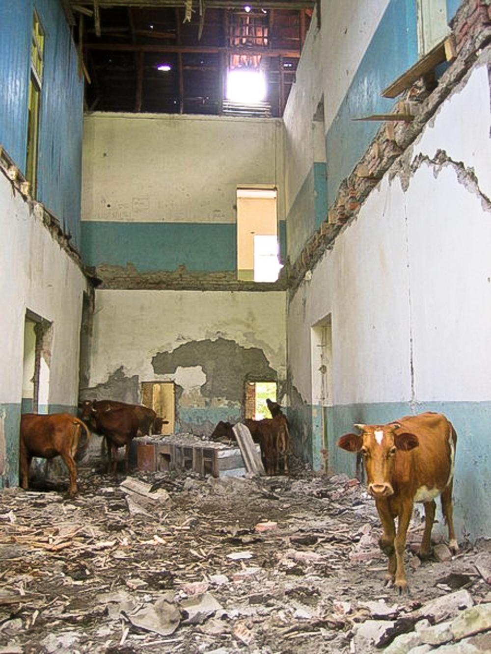 A cow in Adjara