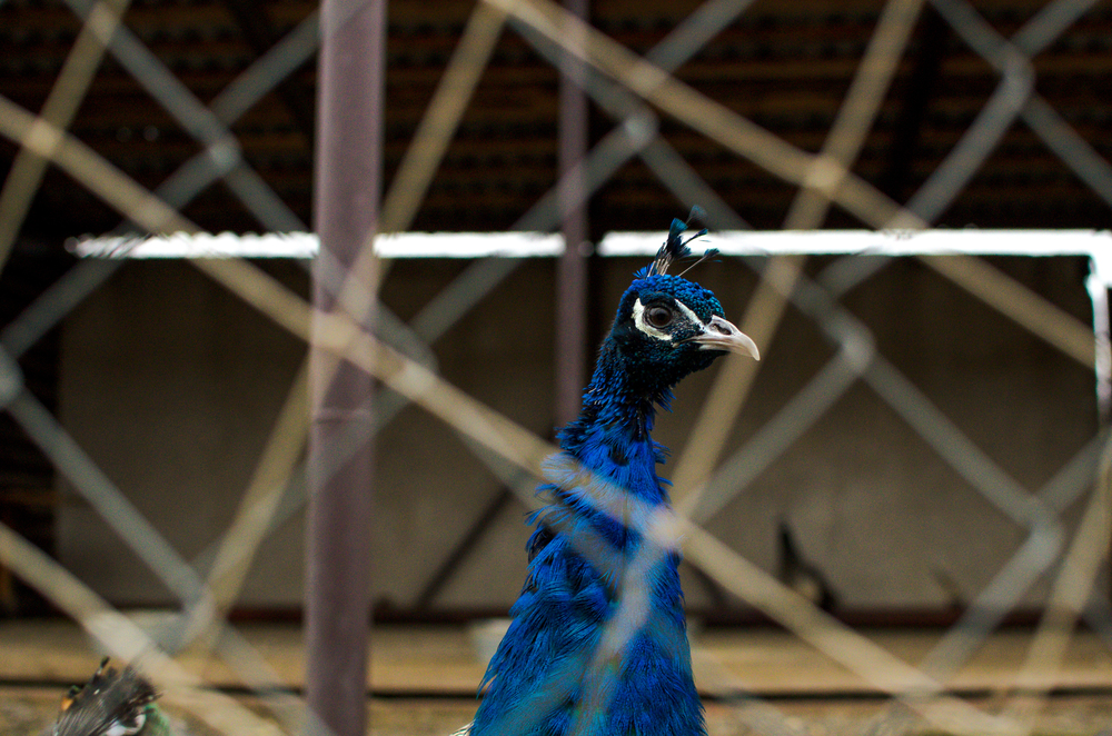 A farm in a converted tire factory in Tambov. It began with rabbits about a decade ago and now has dozens of exotic birds.