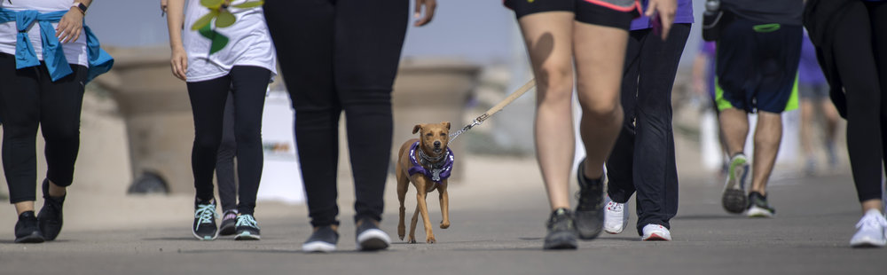 Reo pounds the pavement during the Walk to End Alzheimer's in Huntington Beach on Saturday, October 6, 2018. Reo is named after owner Ronda Knerr's dad, Scotty Reo Ross, who passed away in 2014 from the disease.(Photo by Mindy Schauer, Orange County Register/SCNG)