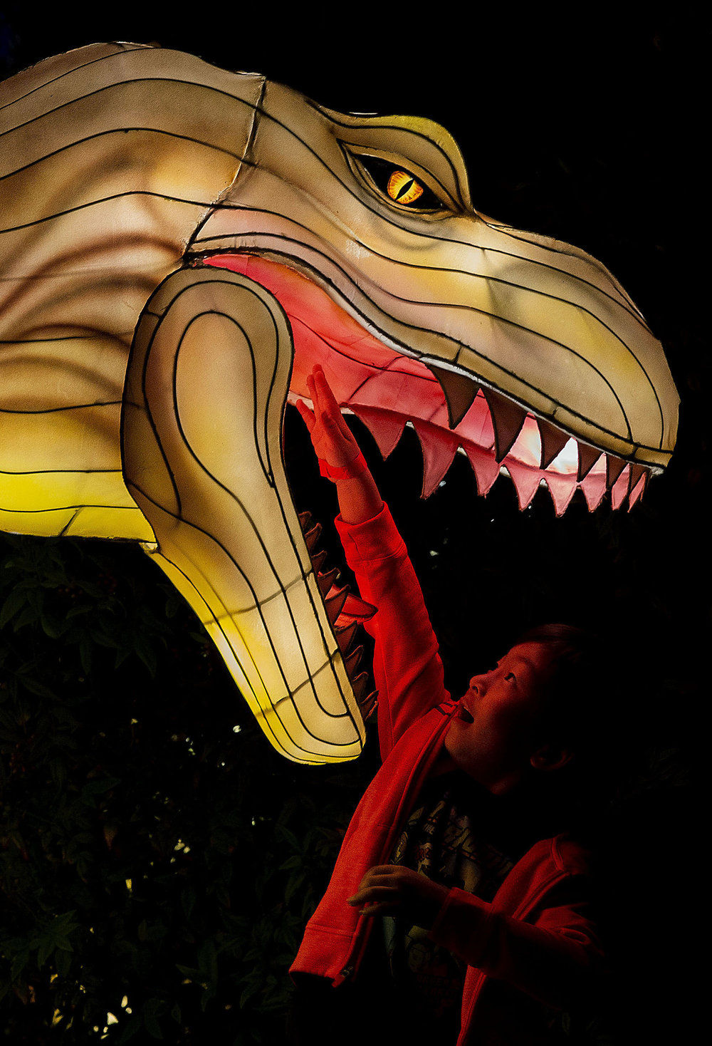 Colton Carrido, 7, of Laguna Hills reaches into the mouth of a dinosaur lantern during the opening of the Hanart Culture Chinese Lantern Festival with 1,000 larger-than life outdoor lantern displays, towering up to 23 feet tall at Pomona Fairplex in Pomona on Thursday, November 15, 2018.