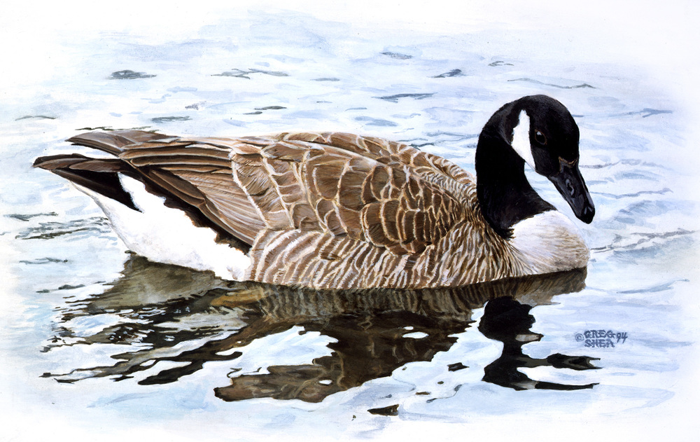 Branta canadiensis  , Illustration, 1994. Acrylic on bristol board. Private collection.