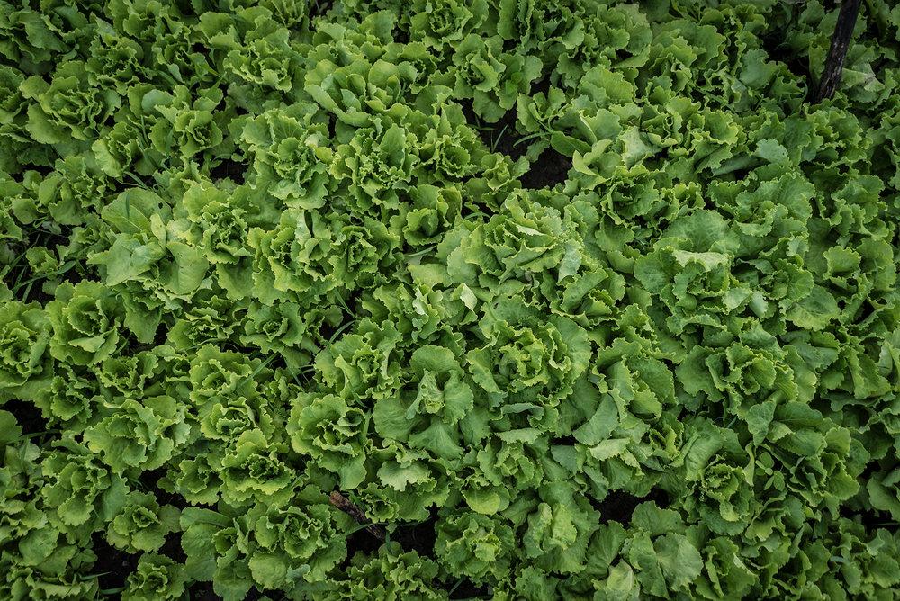 Lettuce2 small.jpg