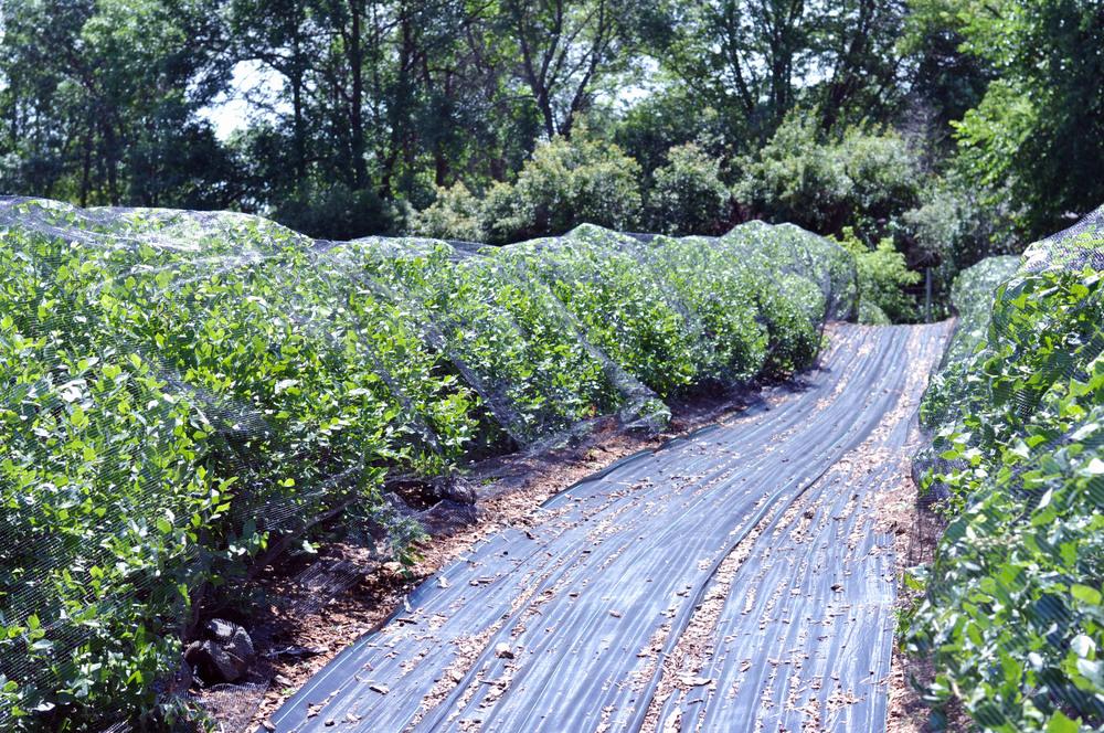 Blueberry Picking in Eastern Minnesota