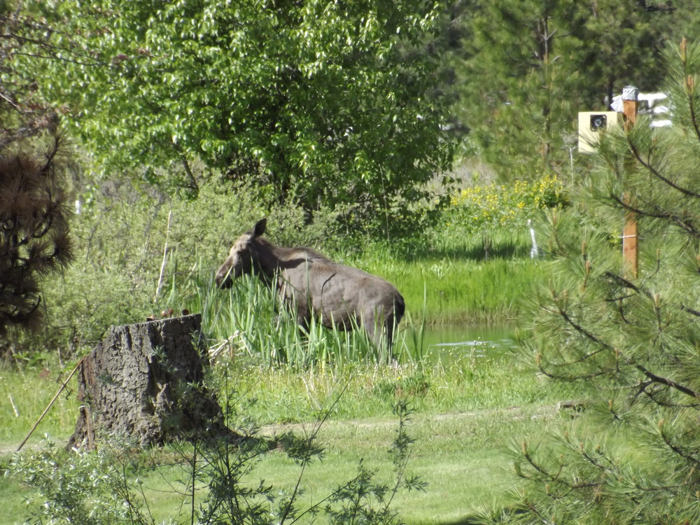 Moose enjoying the summer pond.