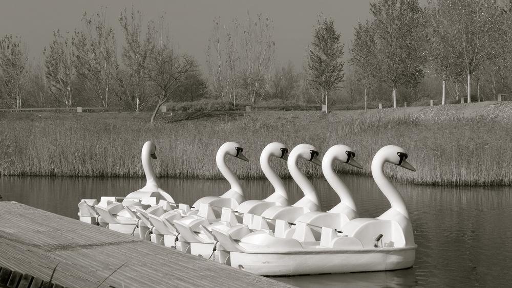 Cisnes poetas
