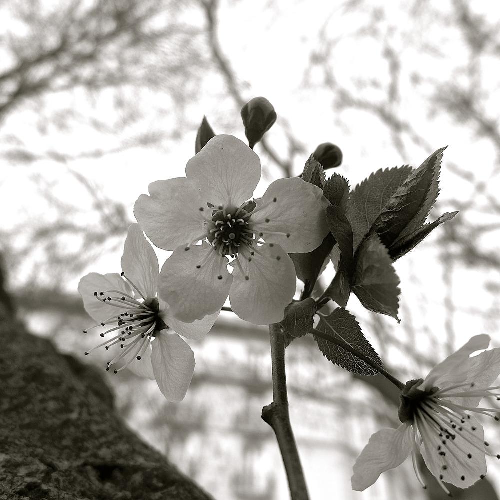 Flores y prunos - 02