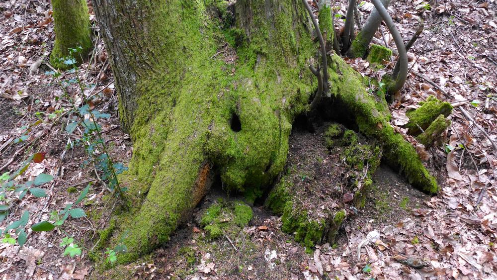 Musgo en tronco Vitrac Francia