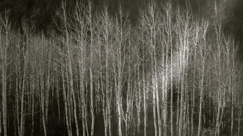 Bosque Ansel Adams