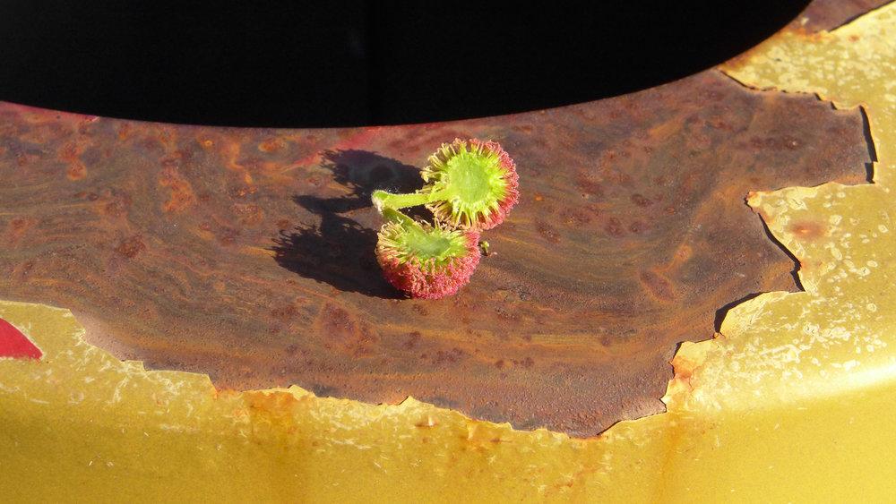 Flor de plátano óxido y amarillo