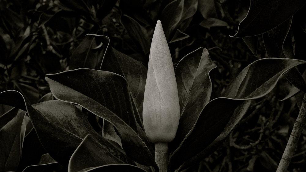 Magnolio - 06