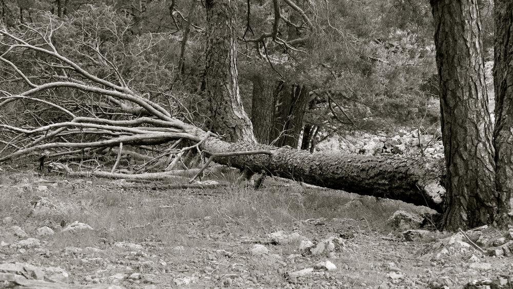 Árbol caído 1
