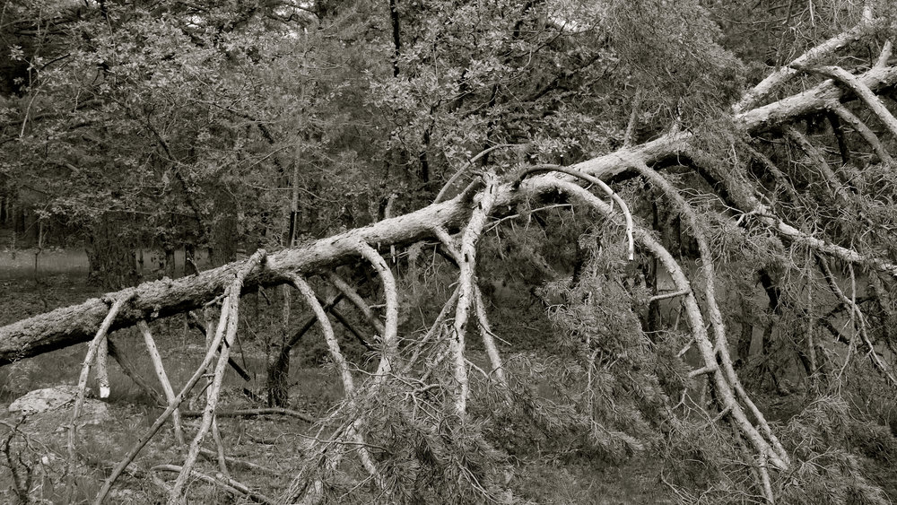 Árbol caído 2