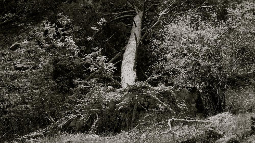 Árbol caído 3
