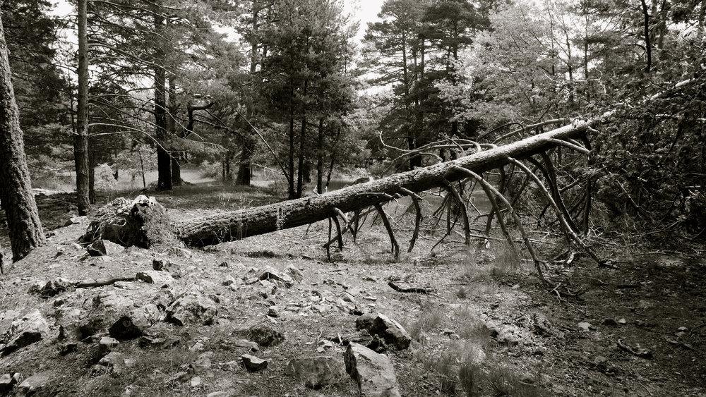 Árbol caído 4