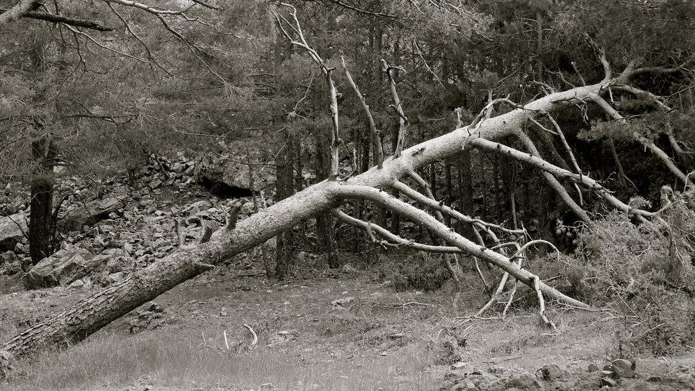 Árbol caído 7