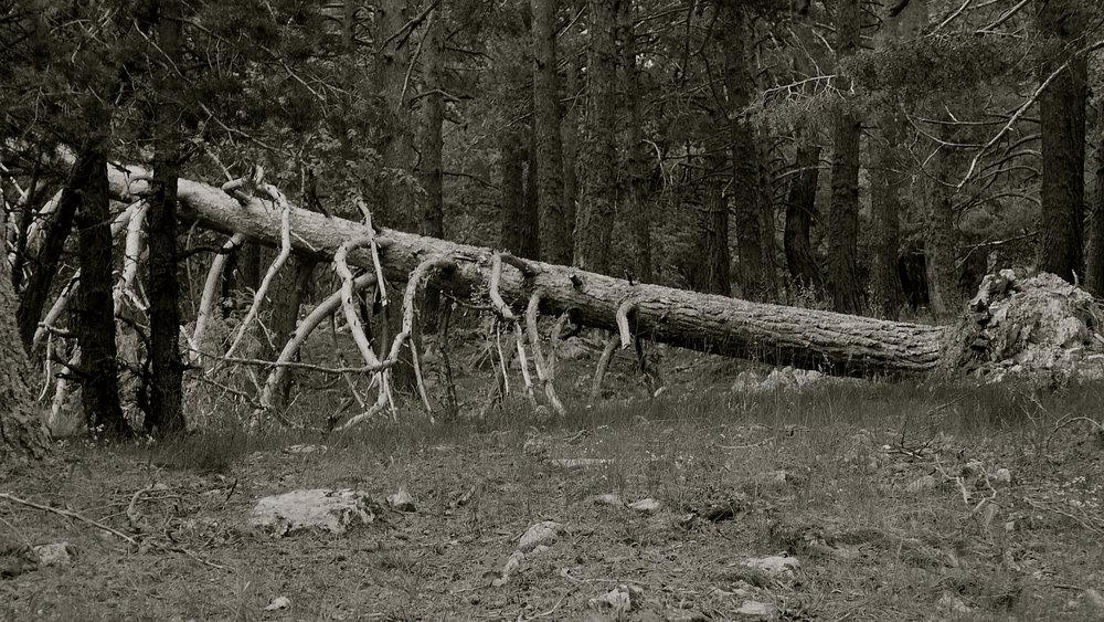 Árbol caído 8