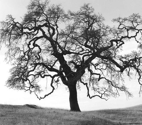 bw oak.jpg
