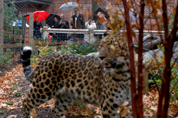 The other leopard explores his new home with Amar Malla from DDC and James Slade in the background.