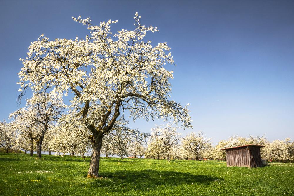 Kirschblüte, Bösenbirkig