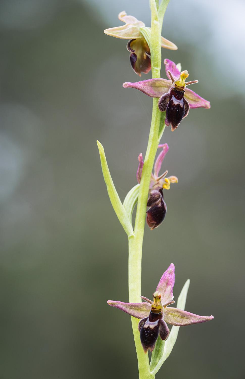 Ophrys insectifera x apifera