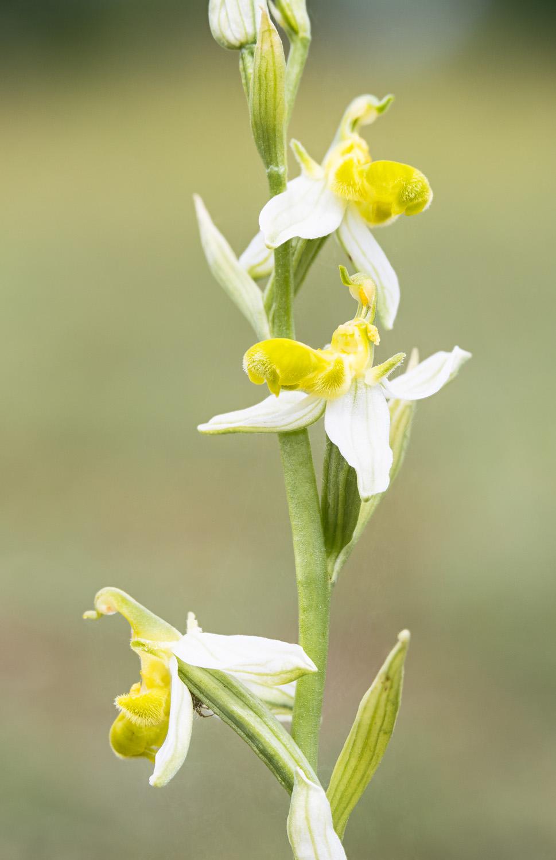 Ophrys apifera var. flavescens