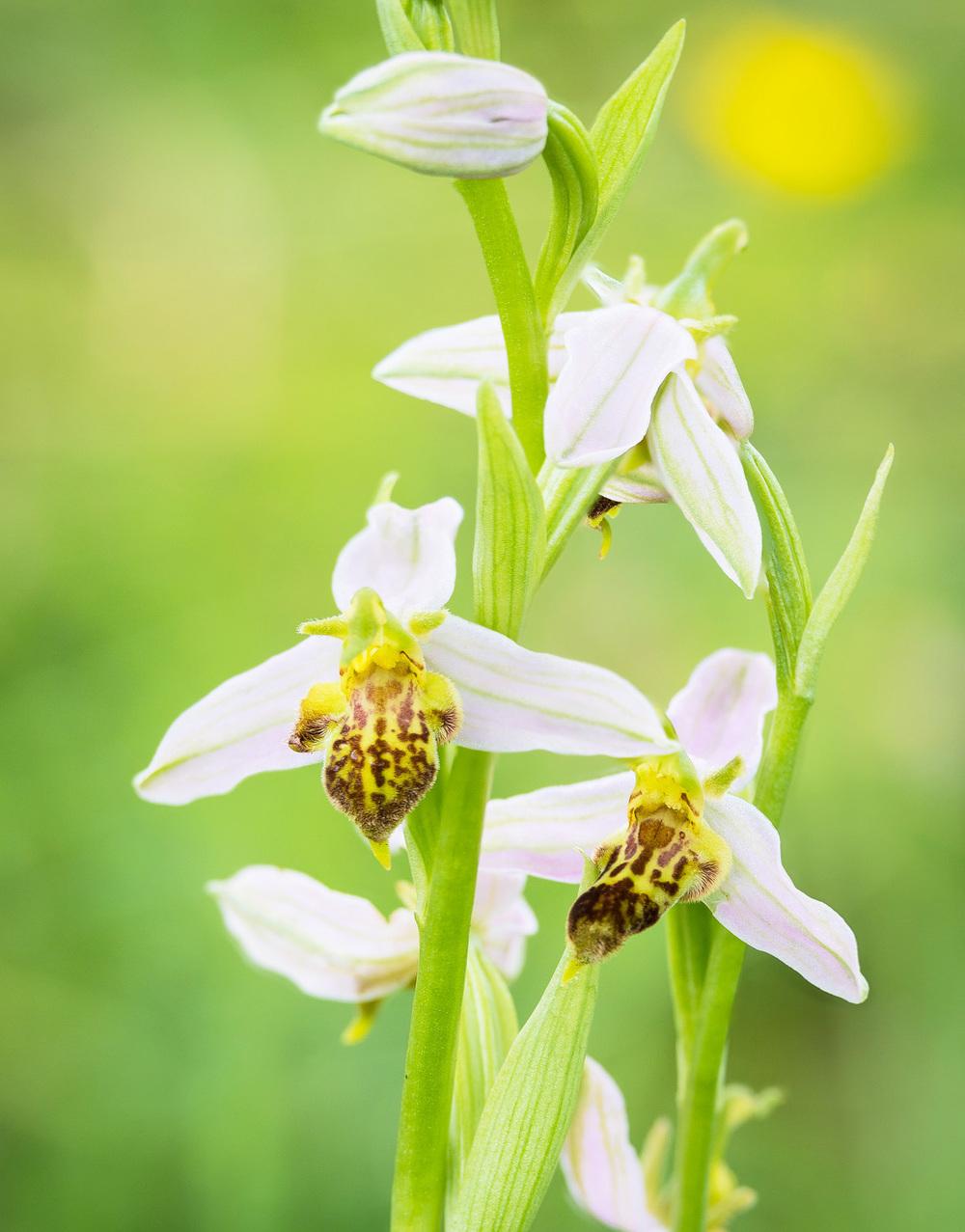 Ophrys apifera var. trollii