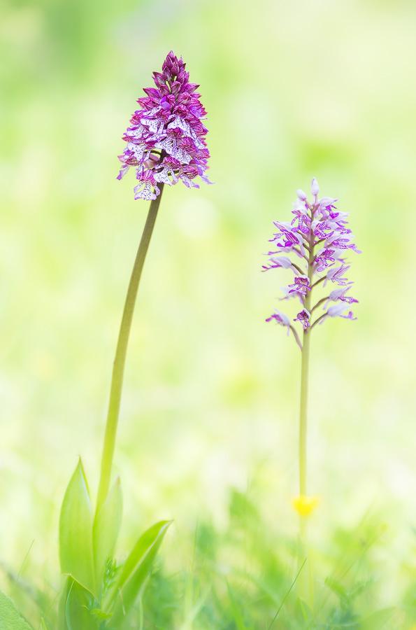 Orchis militaris x Orchis purpurea & Orchis militaris