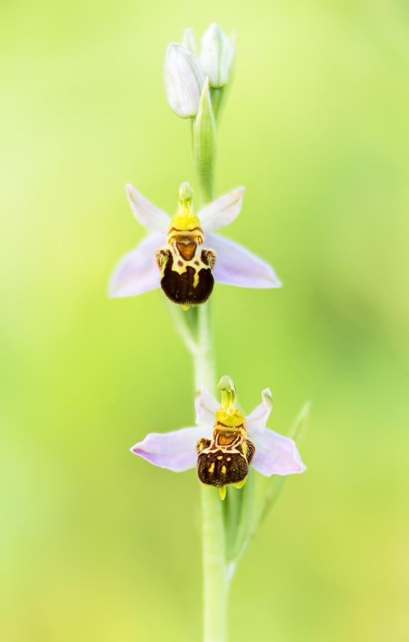 Ophrys apifera var. friburgensis