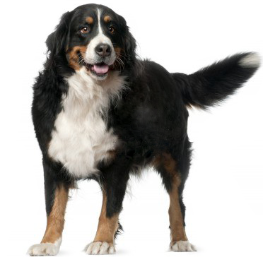 8210508-bernese-mountain-dog-4-years-old-standing-in-front-of-white-background.png