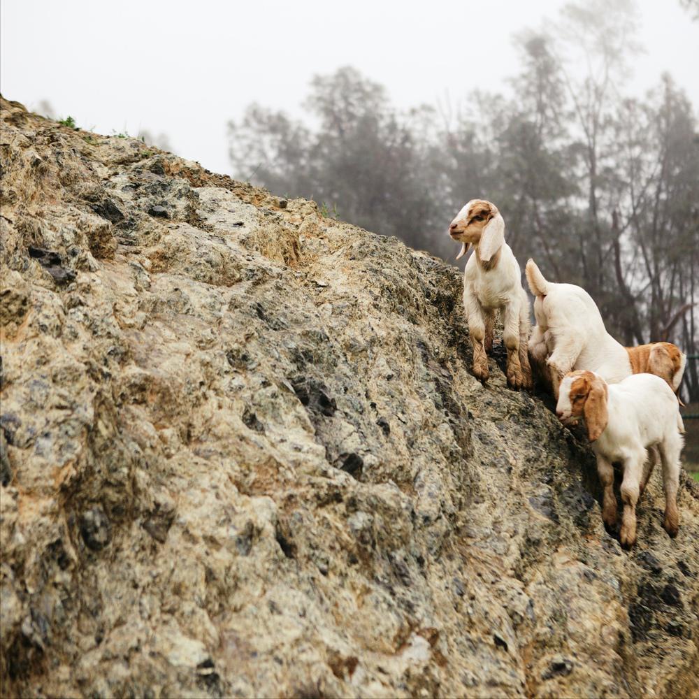 [www.emmakmorris.com]_bec6_Goats+1984.jpeg