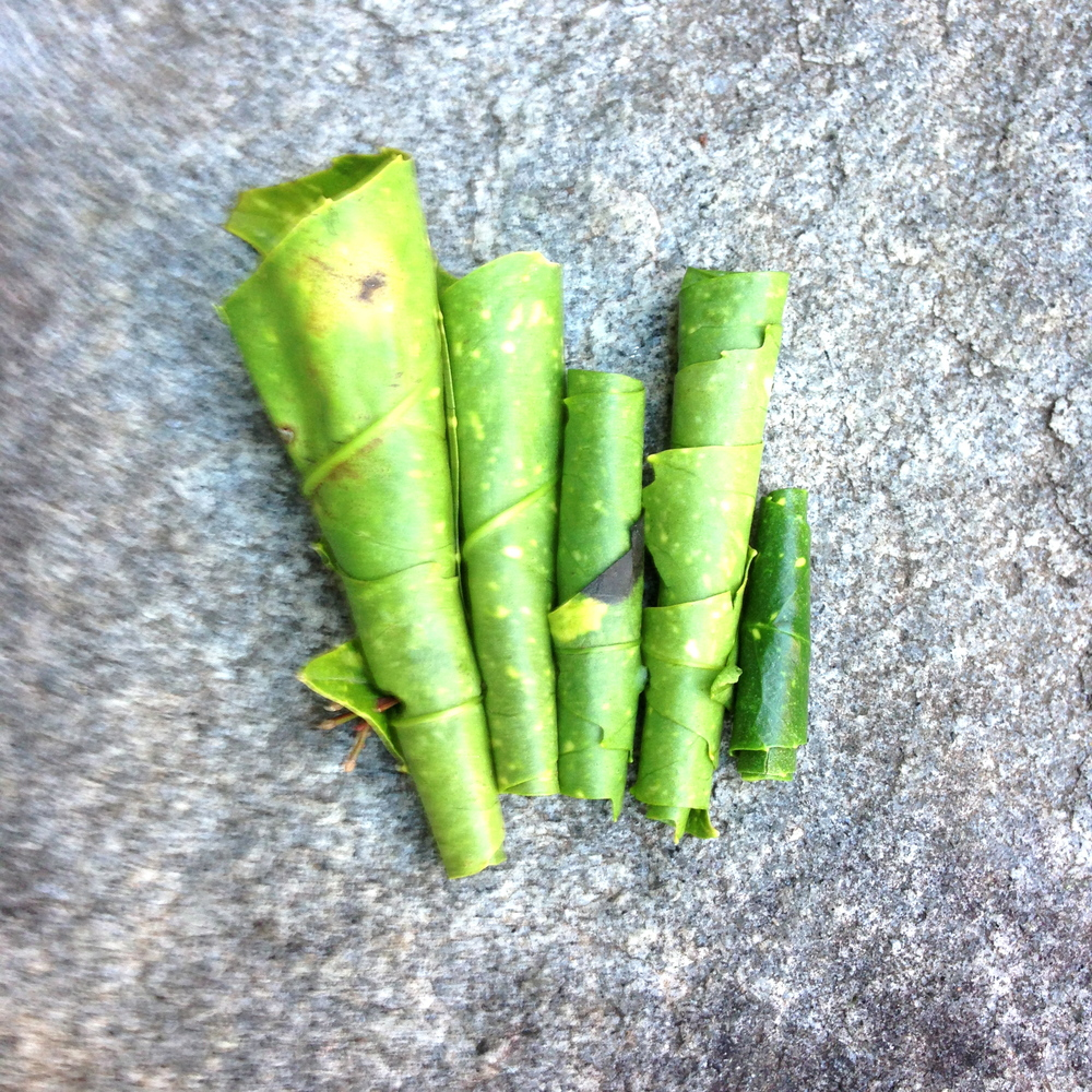 Rolled Acuba leaves on stone. Athens, GA. Spring 2013.