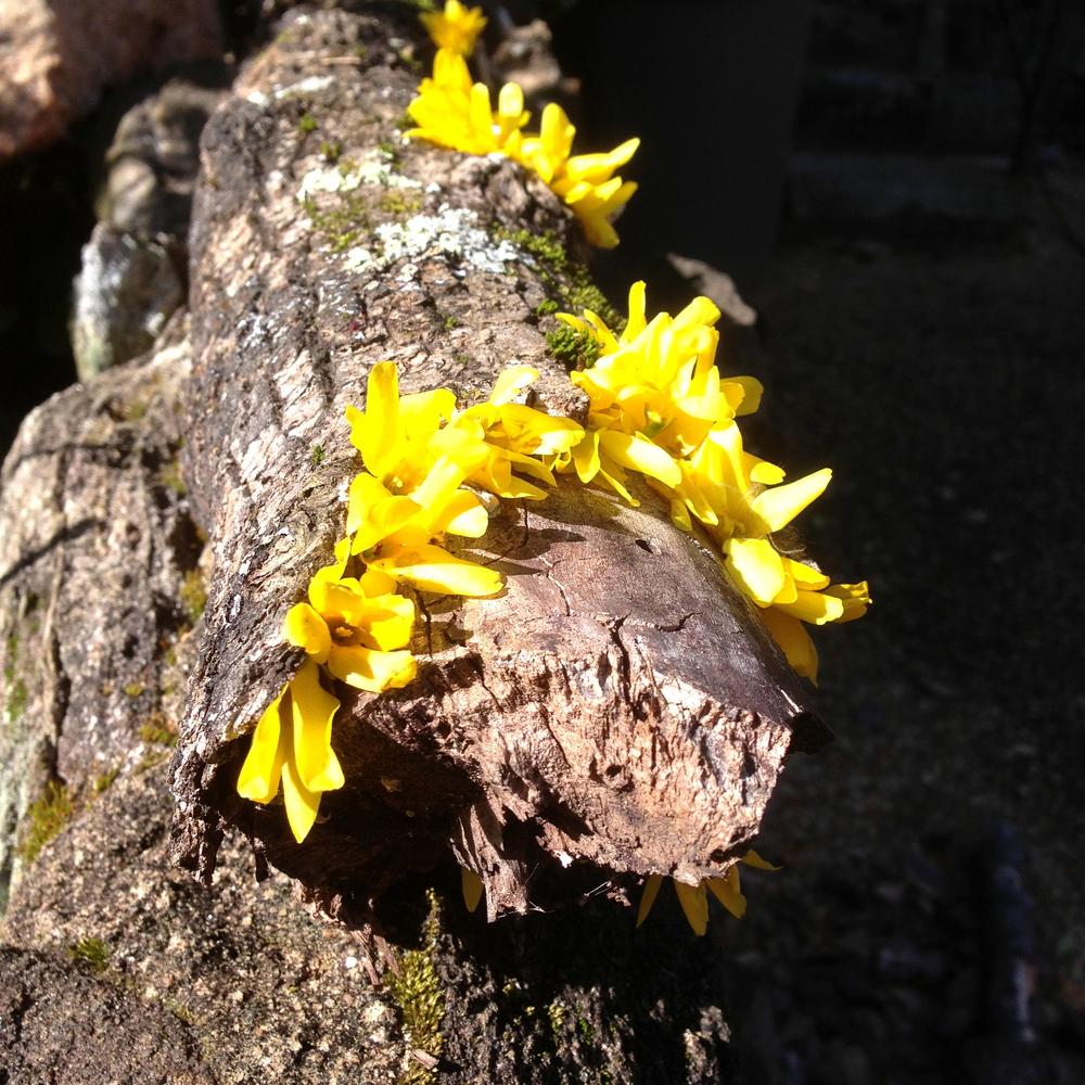 Forsythia blooms on log. Athens, GA. Spring 2013.