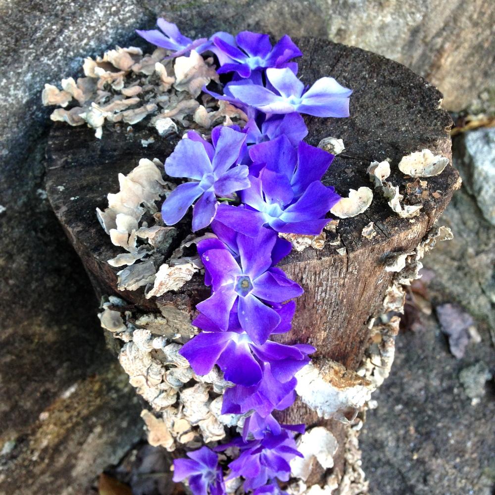 Vinca flowers on log. Athens, GA. Spring 2013.