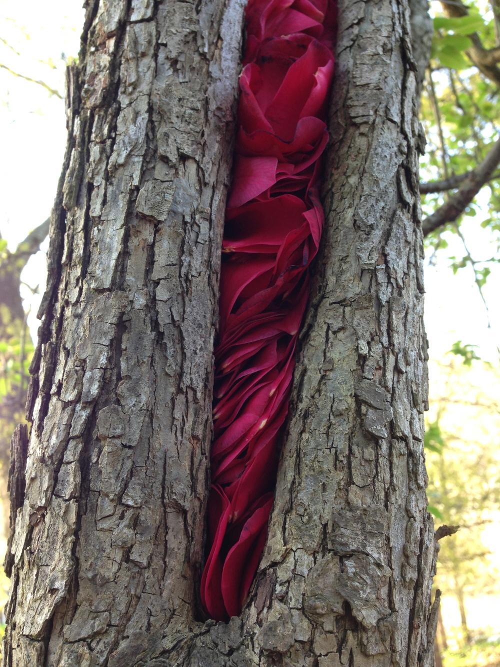 Camellia petals in pear tree. Athens, GA. Spring 2013.
