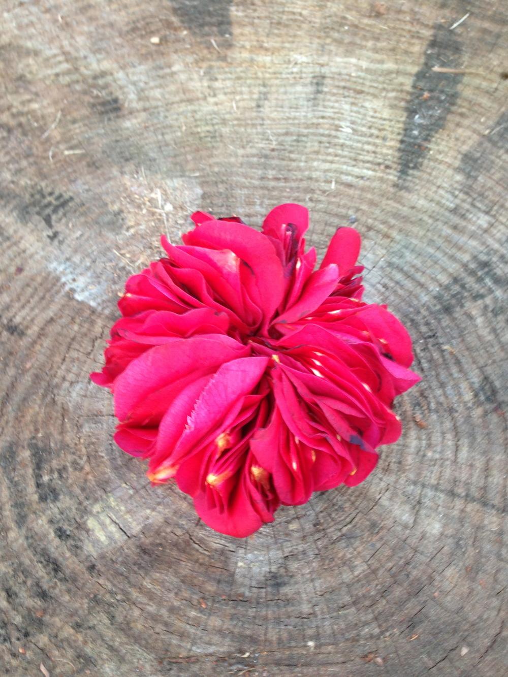 Camellia petals on stump. Athens, GA. Spring 2013.