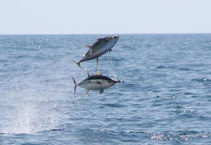 flying tuna.jpg
