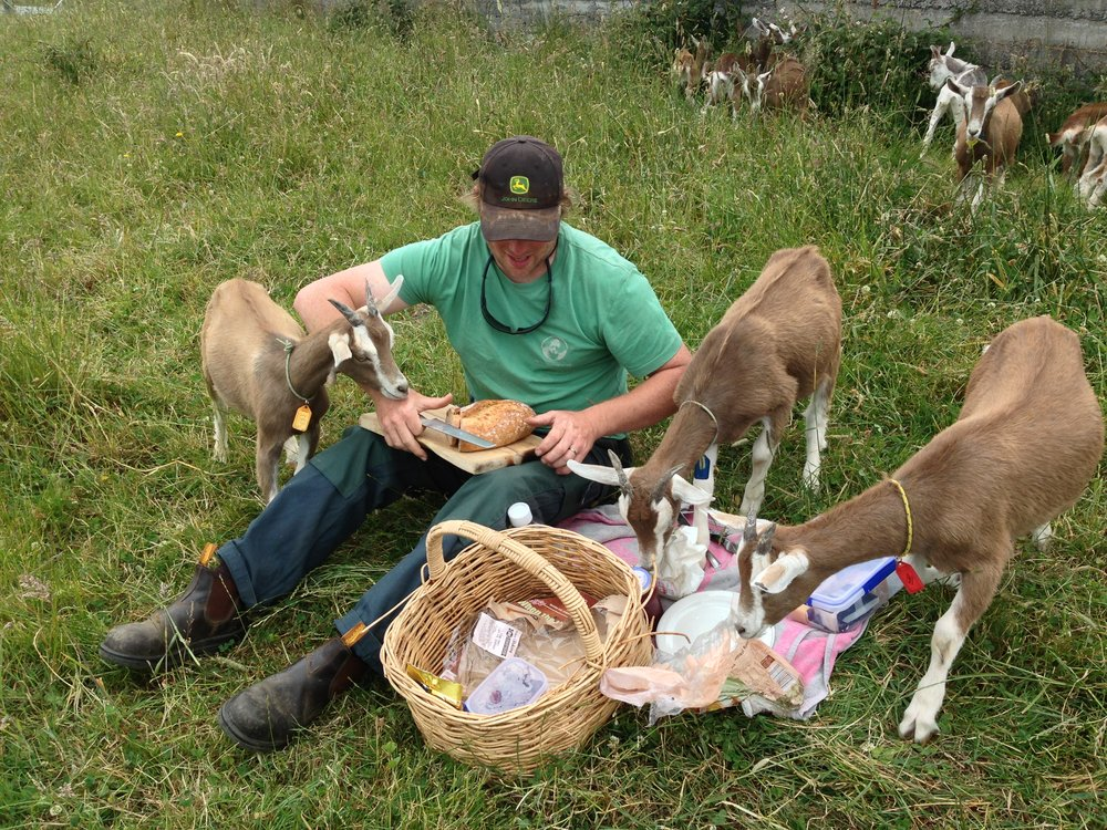 A picnic with goats.