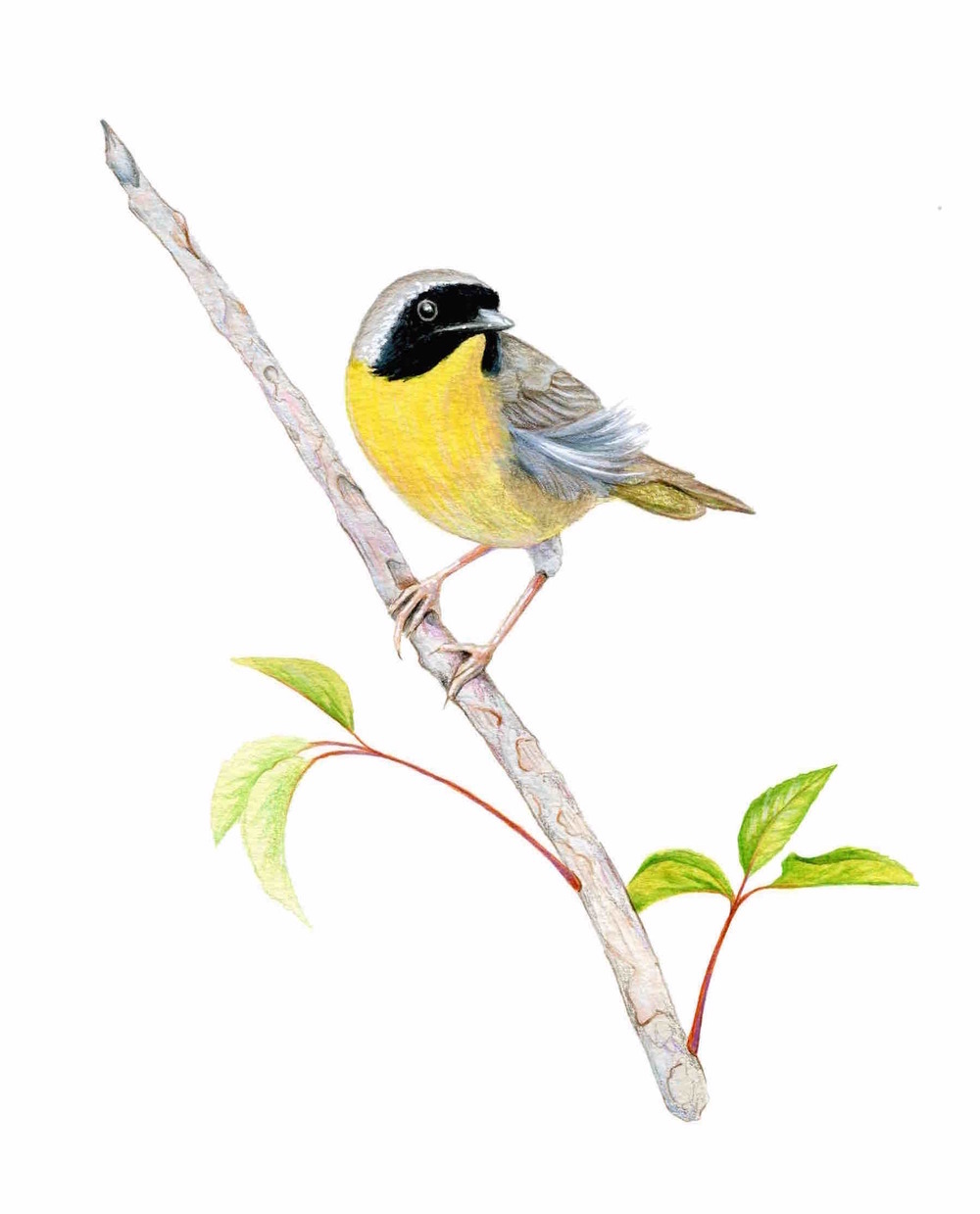 Yellow-throated Warbler Illustration