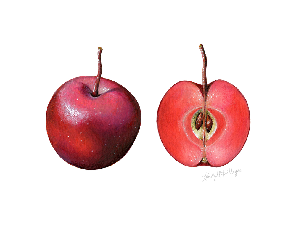 Crab Apple Illustration