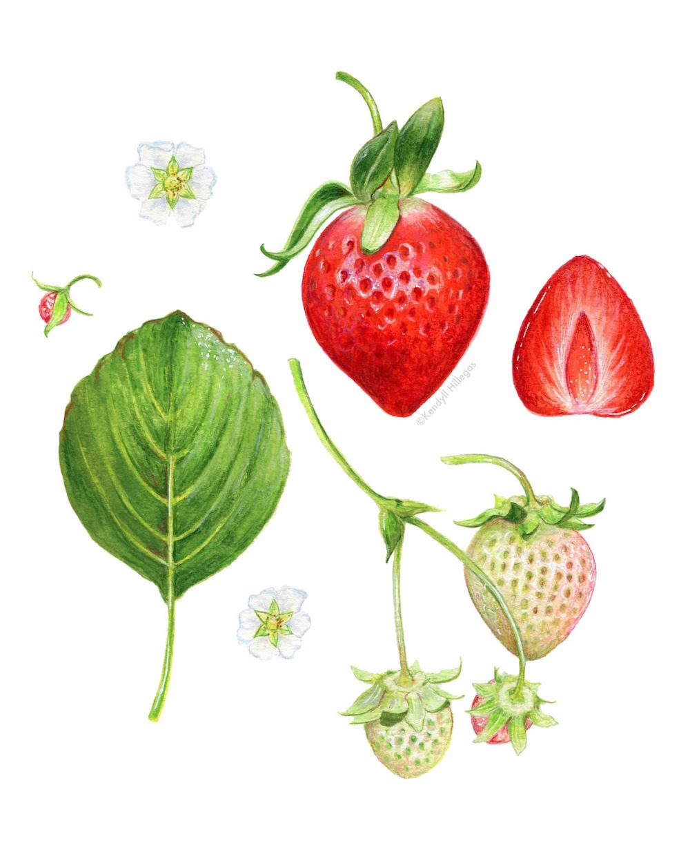 Strawberry Scientific Illustration
