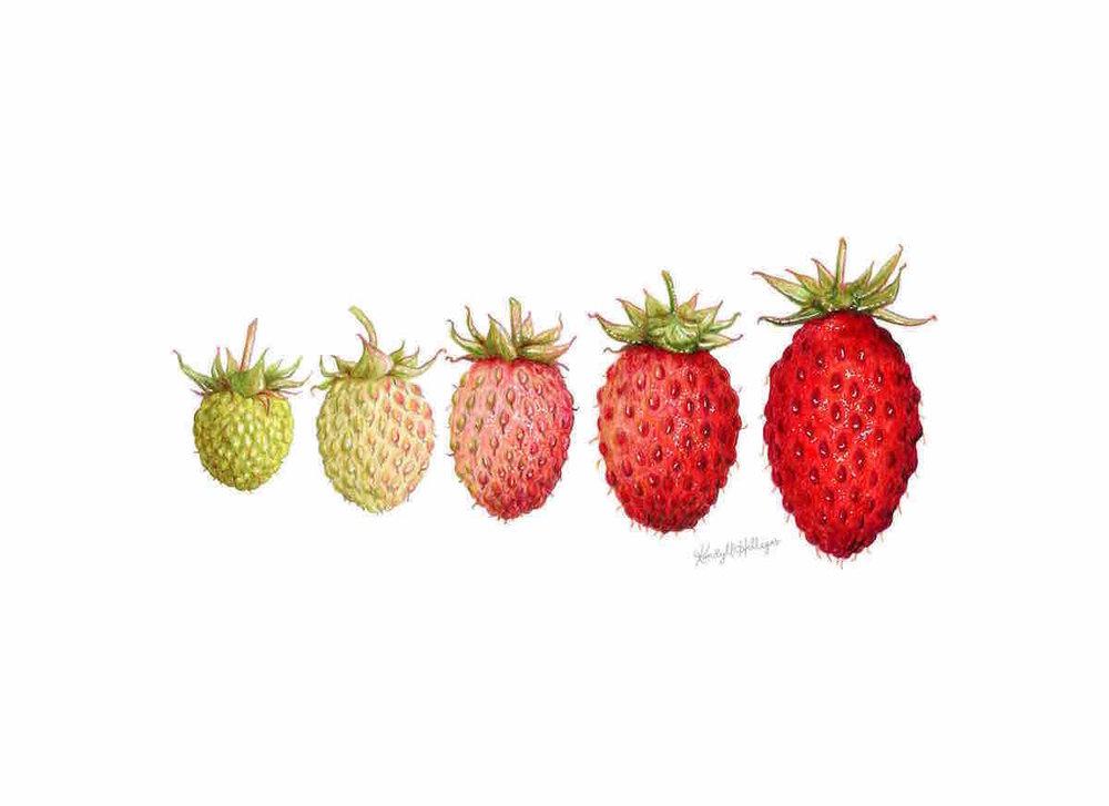 Alpine Strawberry Growth Cycle Illustration