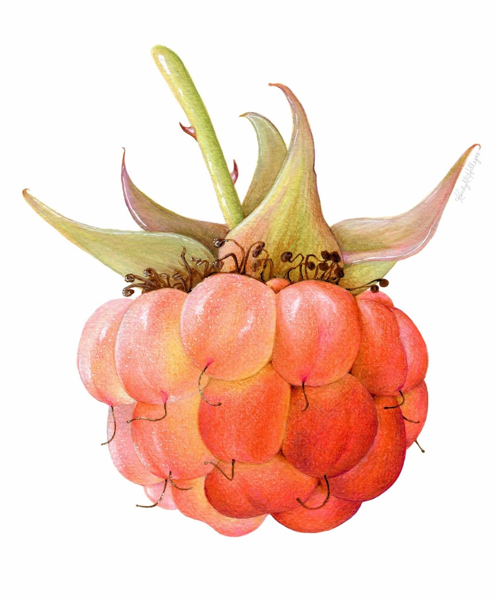 Raspberry Illustration