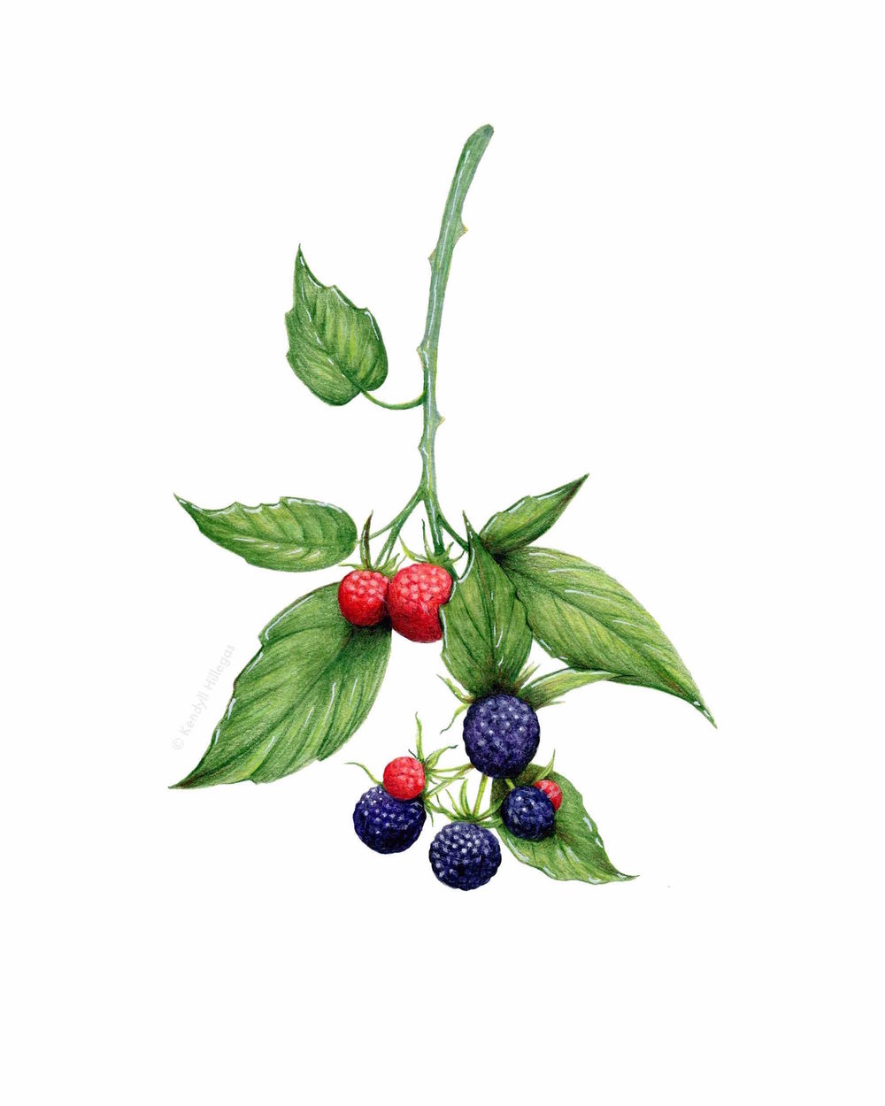 Blackberry Branch Illustration